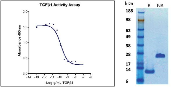 Transforming Growth Factor beta1 (TGF beta1), human recombinant (HumaXpress)
