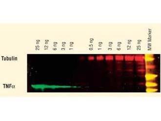 Anti-Mouse IgG2b (Gamma 2b chain), DyLight 649 conjugated