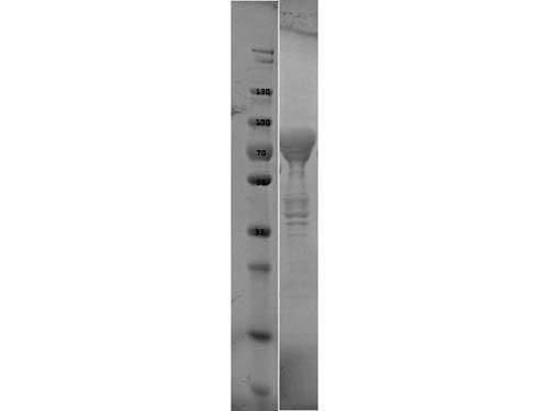 Flagellin Control Protein