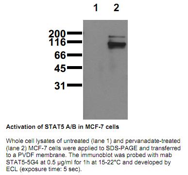Anti-phospho-STAT5 A/B (Tyr694/699), clone 5G4