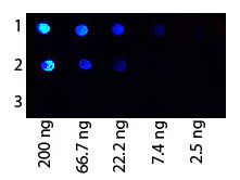 Anti-Protein G, Fluorescein conjugated