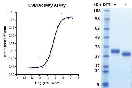 Oncostatin M, human recombinant (HumaXpress)