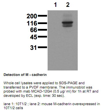 Anti-M-Cadherin (mouse), extracellular domain, clone 12G4