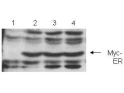 Anti-c-myc (Myc, myc-1)