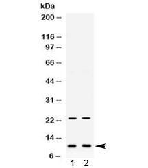 Anti-Eg-Vegf / Prokineticin-1