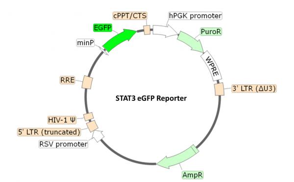 STAT3 eGFP Reporter Lentivirus