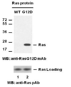 Anti-Ras (G12D), monoclonal