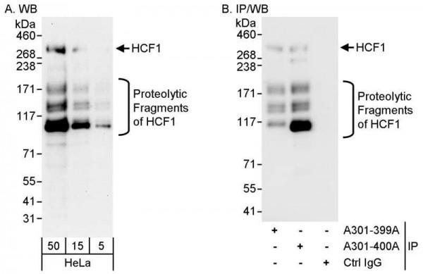 Anti-HCF1