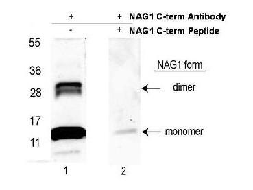 Anti-NAG-1 (C-terminal specific)