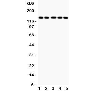 Anti-Collagen Type 2