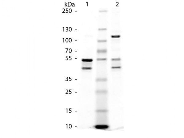 Maltose Binding Protein (MBP) Control