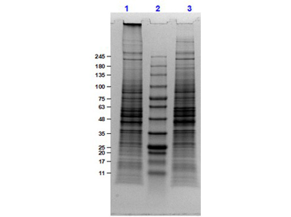 U-251 Whole Cell Lysate
