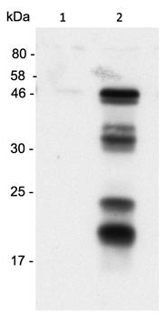 Anti-Caspase-1 (p20) (human), clone Bally-1