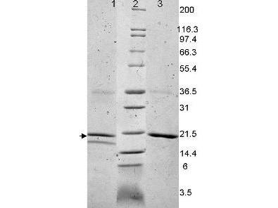 Interleukin-32 alpha, human recombinant (rHuIL-32a)