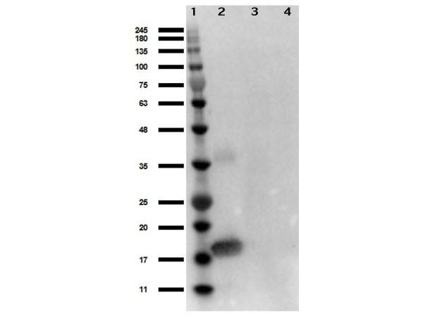 Anti-Interleukin-1 alpha (IL-1a)