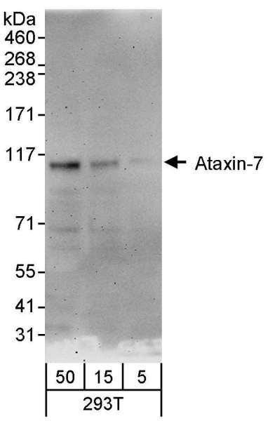 Anti-Ataxin-7