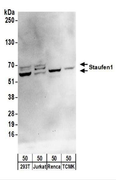Anti-Staufen1