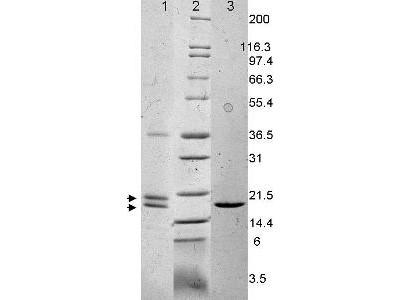 Interleukin-33, human recombinant (rHuIL-33)
