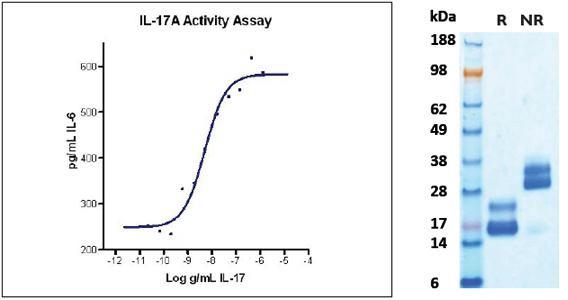 Interleukin-17/17A (IL-17/IL-17A), human recombinant (HumaXpress)