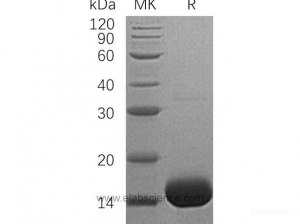 Interleukin-3/IL-3 Protein(N-6His) (recombinant human)