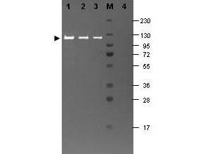Anti-beta-Galactosidase (E.coli)