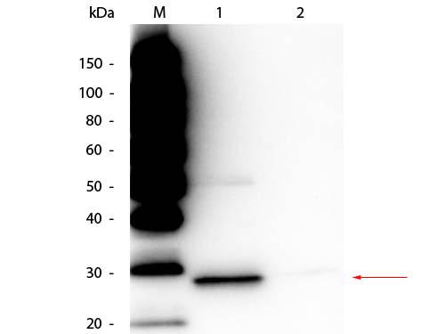 TrueBlot® Immunoprecipitation and Western Blot Kit for GFP Epitope Tag