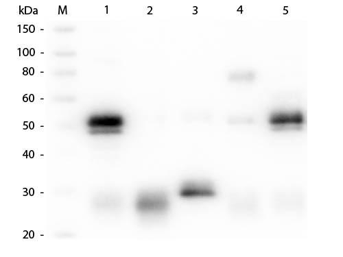 Anti-Rabbit IgG (H&L) (Goat), ATTO 594 conjugated (Min X Bv Ch Gt GP Ham Hs Hu Ms Rt & Sh Serum Prot
