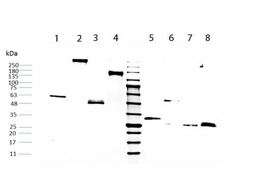 Human IgG F(C) Fragment