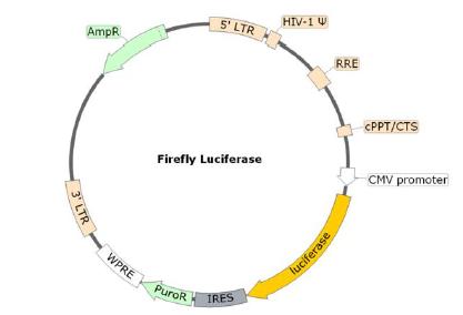 Spike (SARS-CoV-2) Pseudotyped Lentivirus (Luciferase Reporter)