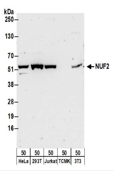 Anti-NUF2
