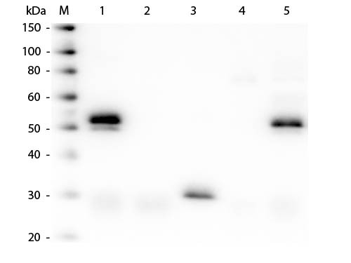 Anti-Rabbit IgG (H&L) (Min X Bv Ch Gt GP Ham Hs Hu Ms Rt & Sh Serum Proteins), DyLight 405 conjugate