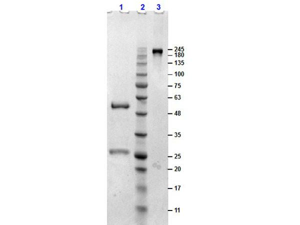 Sheep Gamma Globulin