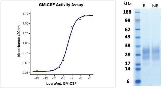 Granulocyte Macrophage Colony Stimulating Factor (GM-CSF), human recombinant (HumaXpress)