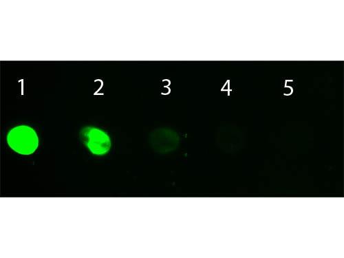 Donkey IgG Whole Molecule Fluorescein Conjugated