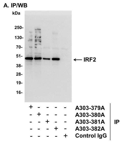 Anti-IRF2