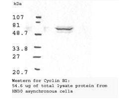 Anti-Cyclin B1