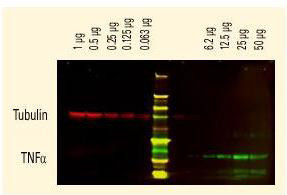 Anti-6X HIS EPITOPE TAG, DyLight 800 conjugated