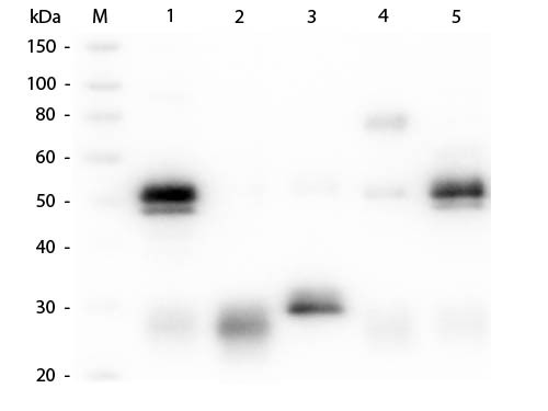 Anti-Rabbit IgG (H&L) (Goat), ATTO 550 conjugated (Min X Bv Ch Gt GP Ham Hs Hu Ms Rt & Sh Serum Prot