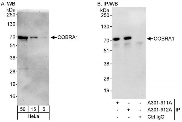 Anti-COBRA1