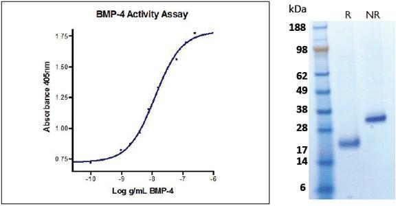 Bone Morphogenetic Protein-4 (BMP-4), human recombinant (HumaXpress)