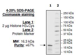 Biotinylated Histone H3, Full Length, Recombinant Protein