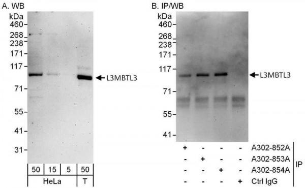 Anti-L3MBTL3