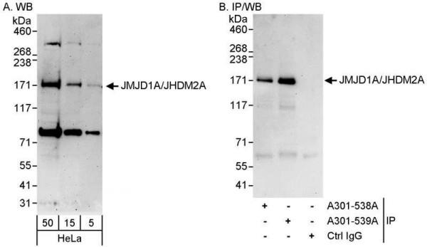 Anti-JMJD1A/JHDM2A