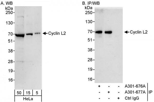 Anti-Cyclin L2