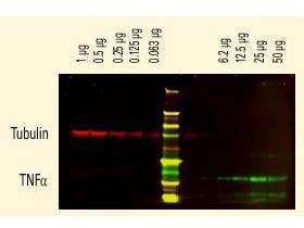 Anti-Goat IgG (H&L) (Min X Human Serum Proteins), DyLight 800 conjugated