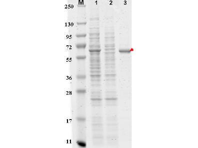 DYKDDDDK (FLAG(R)) Peptide