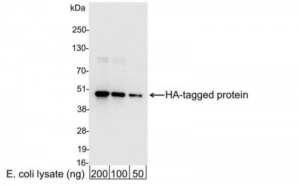 Anti-HA, HRP conjugated