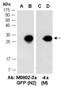 Anti-GFP (N2), clone 6F6