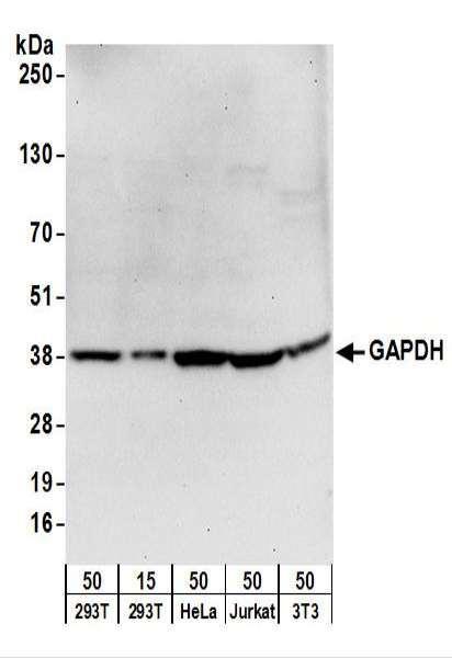 Anti-GAPDH