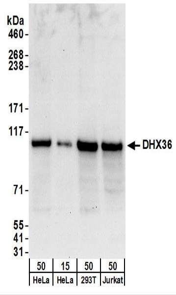 Anti-DHX36